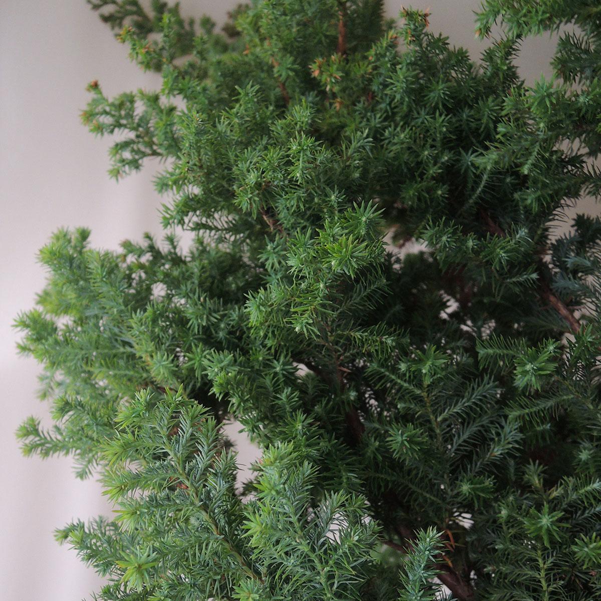 【生花】ヒムロ杉 60cm程度(※葉焼けあり)