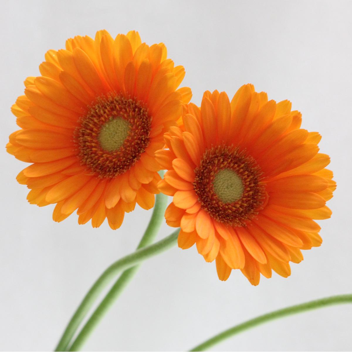 【生花】【さぎやま】ガーベラ エミ(オレンジ芯白)