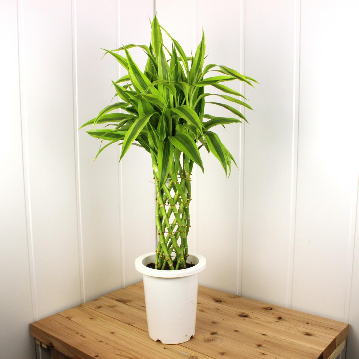 人気観葉植物バンブー