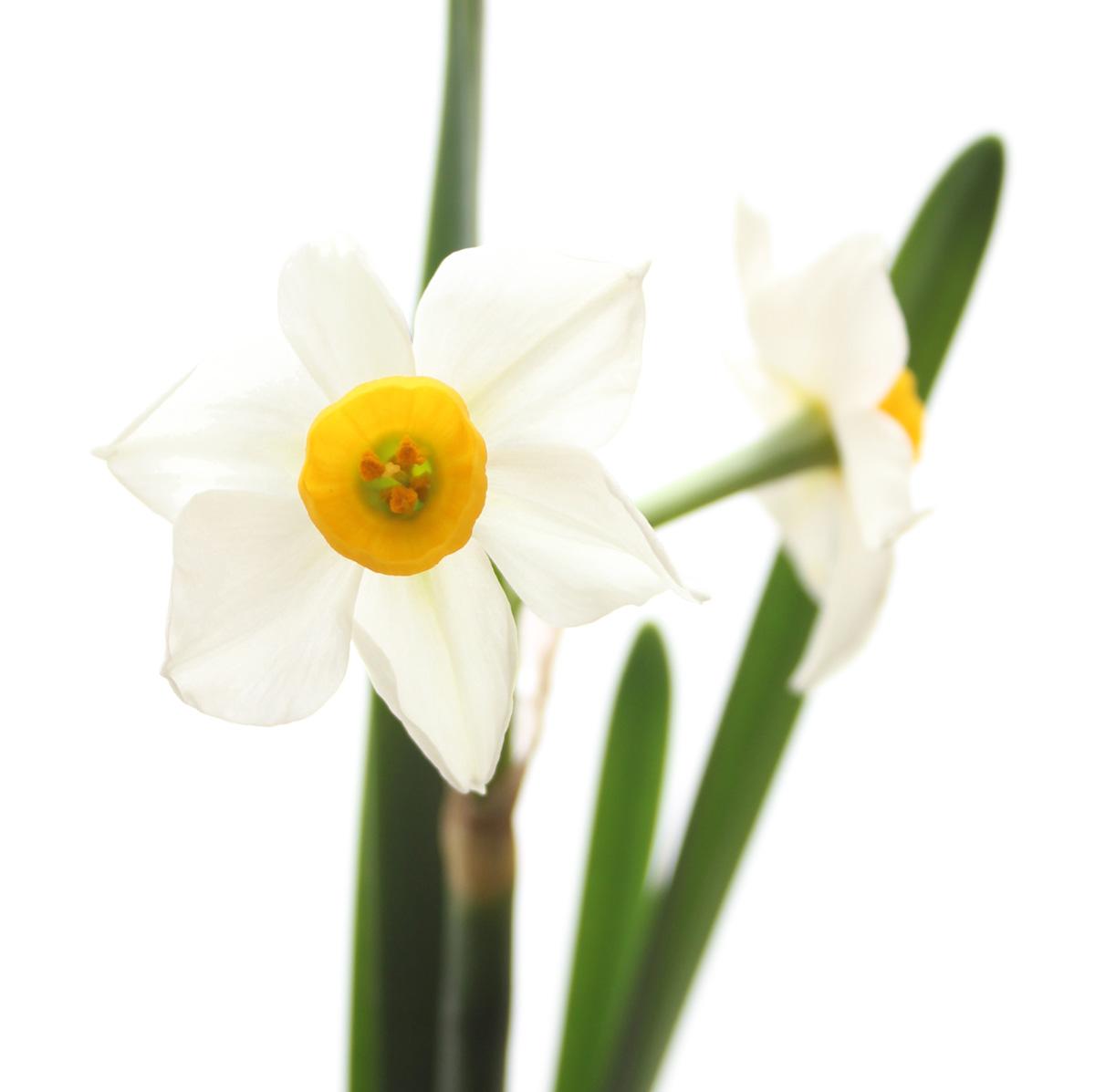 【生花】日本水仙 50cm程度:: | 《通販》はなどんやアソシエ
