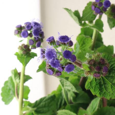 アゲラタム〔紫〕