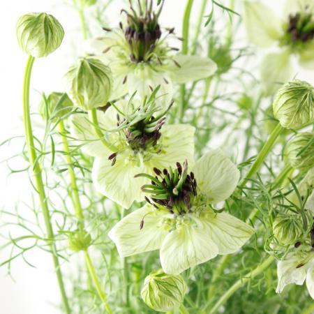 【生花】ニゲラ アフリカンブライド(白×芯黒)【FJ】50cm程度