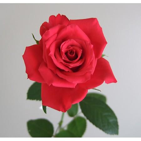 生花】バラ レッドスター(赤)□12/2までの届日限定 | 《通販》はなどん ...