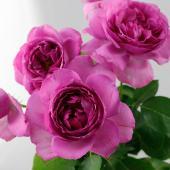 【生花】バラ イブピアッチェ(濃いピンク)