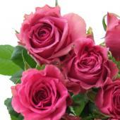 【生花】バラおまかせ 濃いピンク