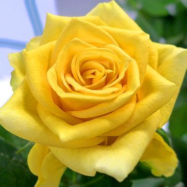 生花 バラ ソラーレ 黄色 入荷少 通販 はなどんやアソシエ