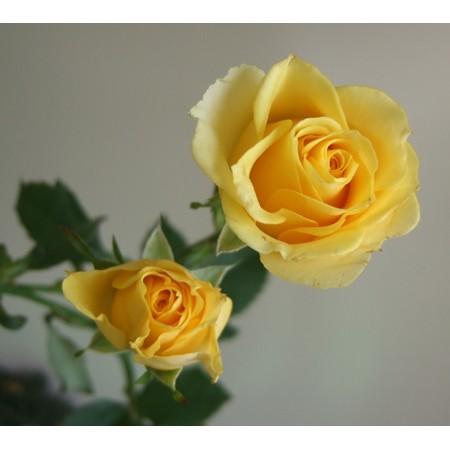 生花 Spバラ フレア 黄 通販 はなどんやアソシエ