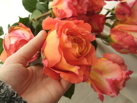 生花spot直前バラ フリースピリット オレンジ系カップ咲き新品種